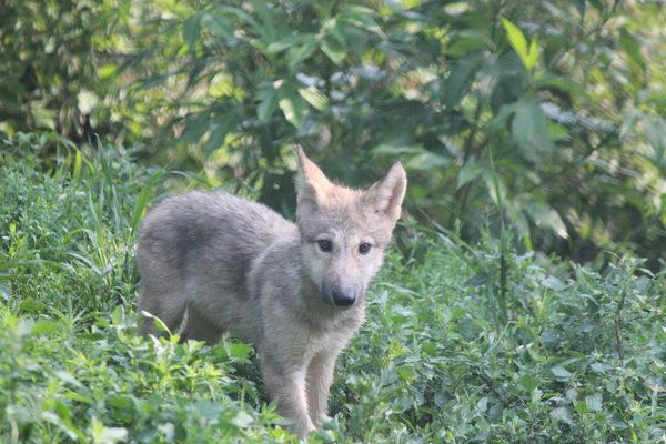 Eight Grey Wolf Pups Pop Out of Their Den