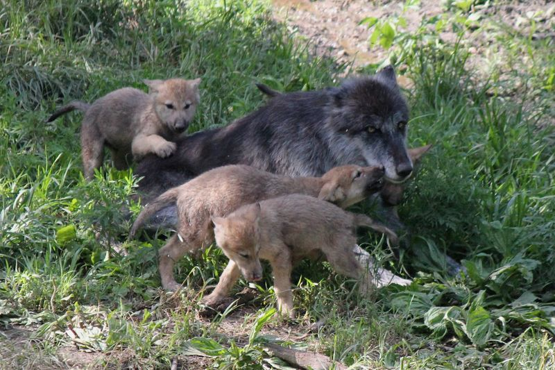 Wolf Pups (4)