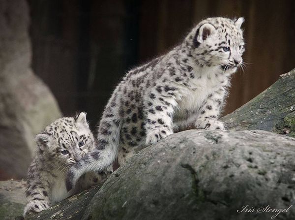 snow leopard cubs �spotted� at zoo krefeld zooborns