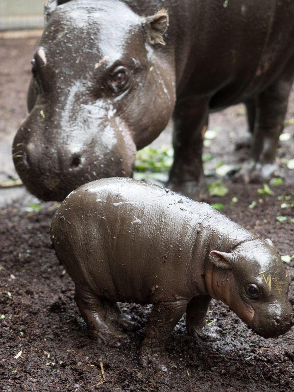 Pygmy Hippo Calf Gets in the Swim