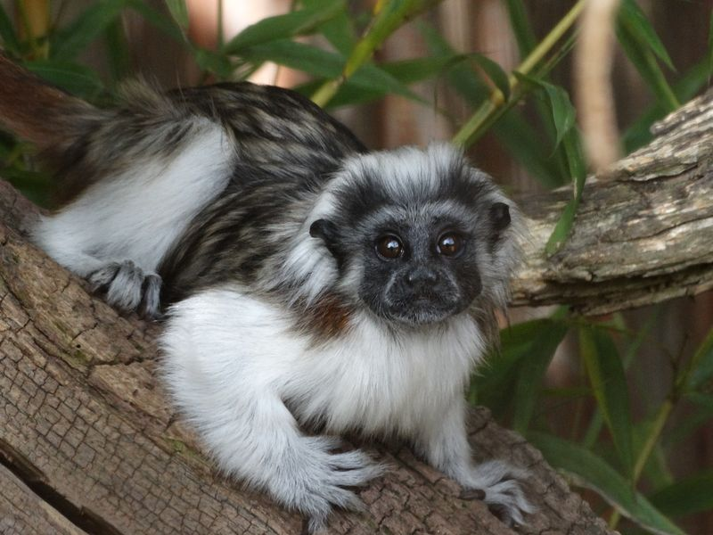 2.2_Cotton top Tamarin baby close up