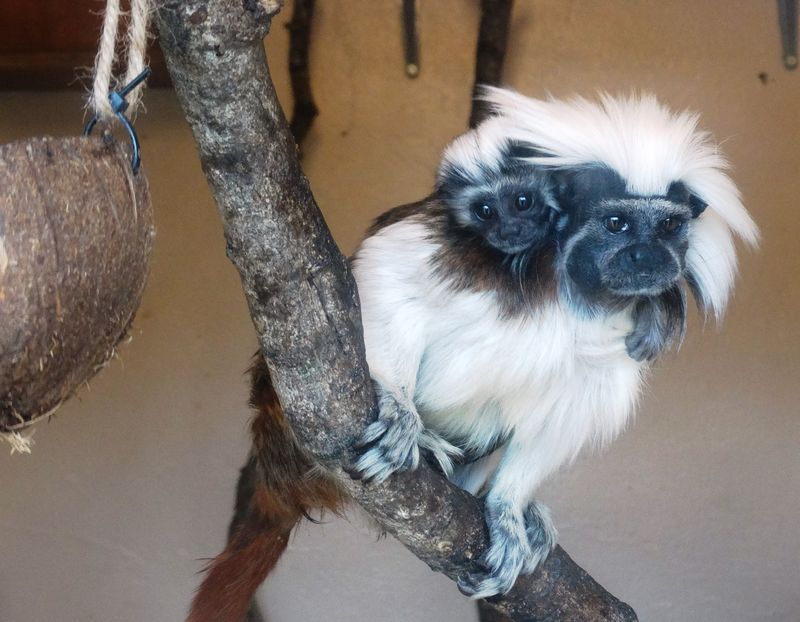13_Tamarin Cotton top baby and parent on branch