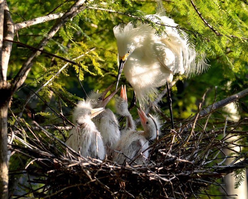 2_Virginia Living Museum Snowy Egret 15_edited-1