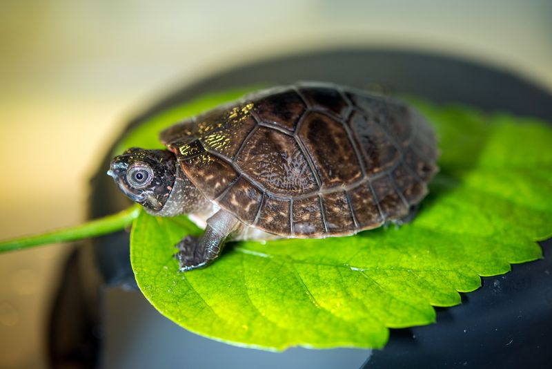 Baby Malaysian Giant Pond Turtle-0001-6420