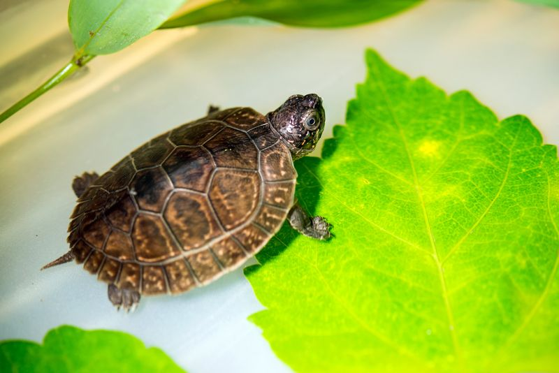 Baby Malaysian Giant Pond Turtle-0003-6442