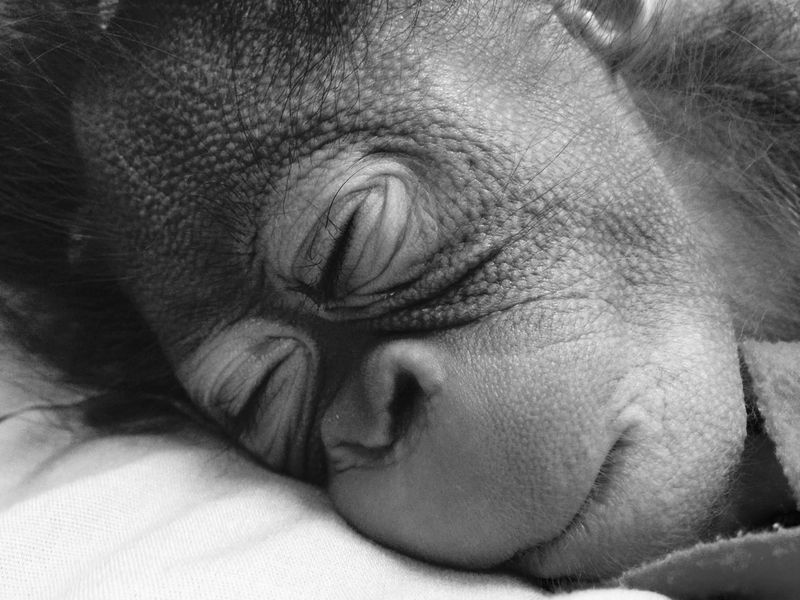 1_Bornean Orangutan | Henry Vilas Zoo