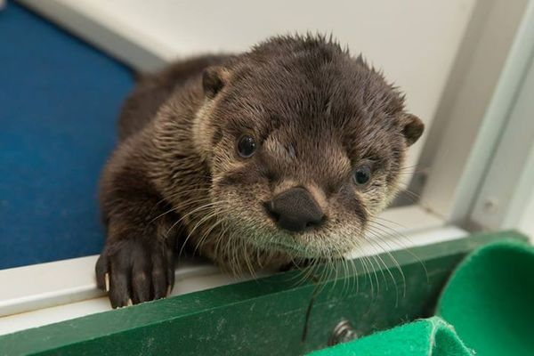 Meet Little Pudding, Oregon's Orphaned Otter Pup