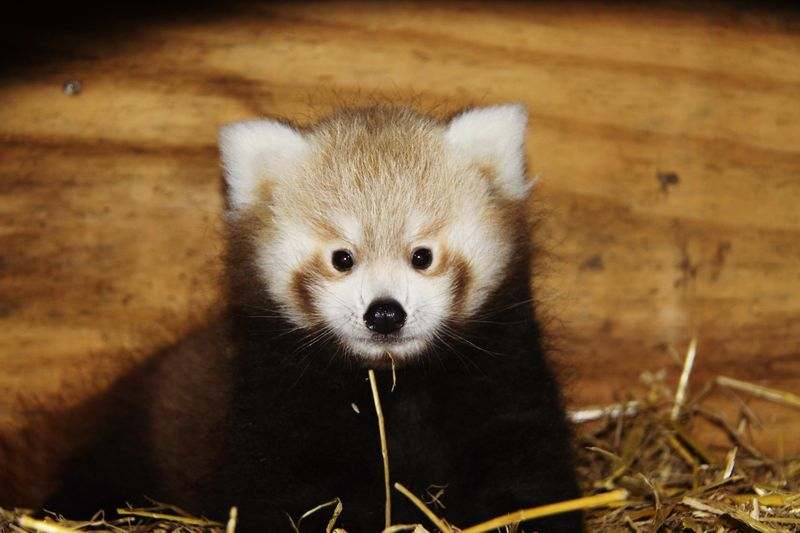 1_Red Panda Baby at Longleat PIC Ian Turner