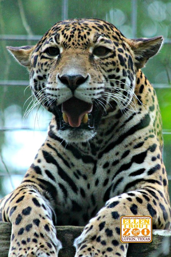 Jaguar Birth Announced at Ellen Trout Zoo