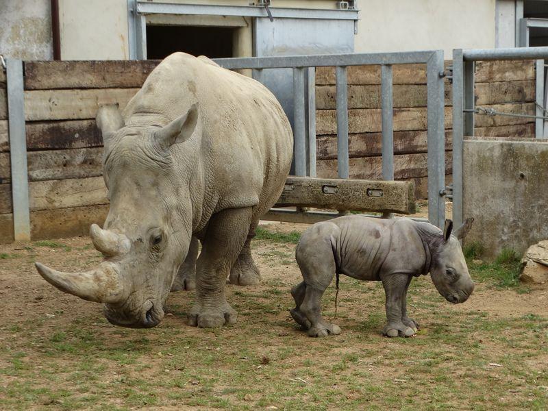 3_Baby Rhino in paddock with Nancy (9)