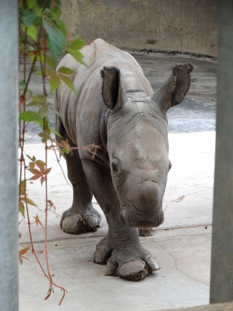 9_Baby Rhino hooves