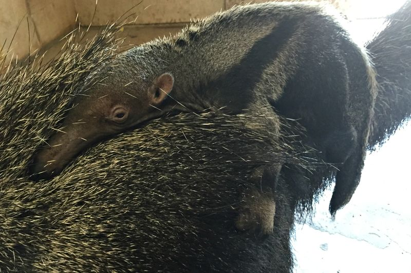 Zoo Boise Anteater Pup 3