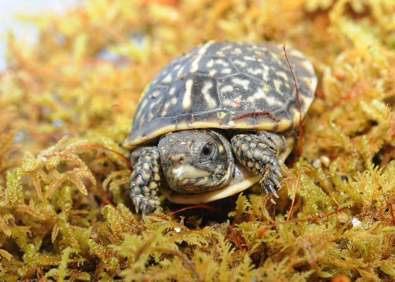 1_Ornate Box Turtle-6 (©Chicago Zoological Society)