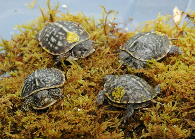 2_Ornate Box Turtle-7 (©Chicago Zoological Society)