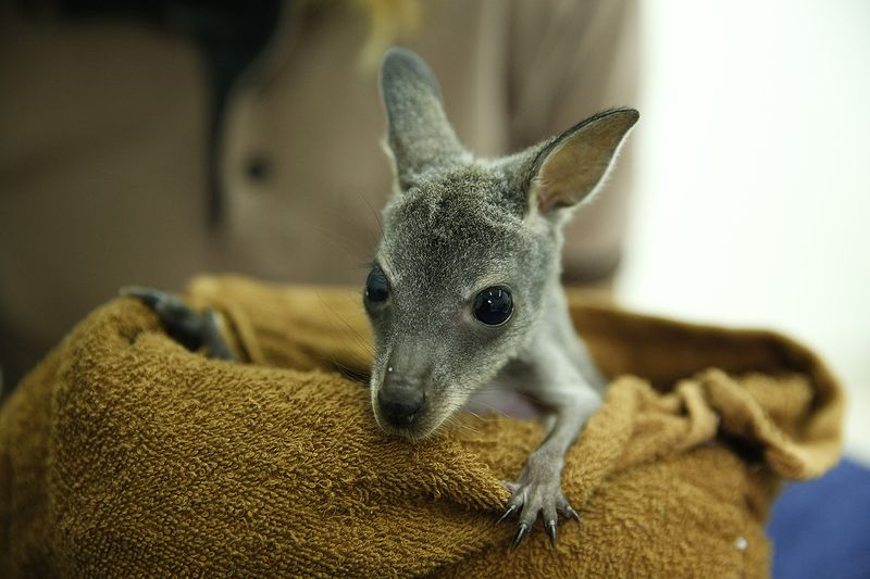 wallaby 5