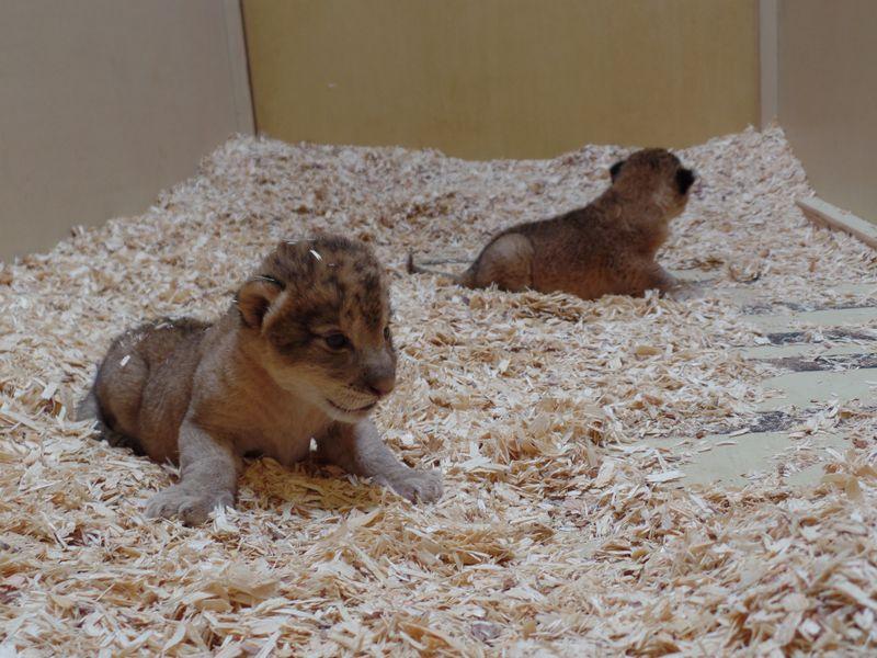 2_lion_cubs-386865204999