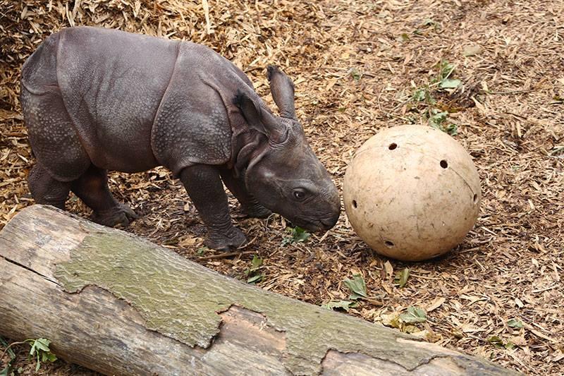 5_Whipsnade Rhino Calf