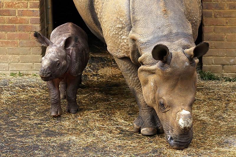 6_Whipsnade Rhino Calf