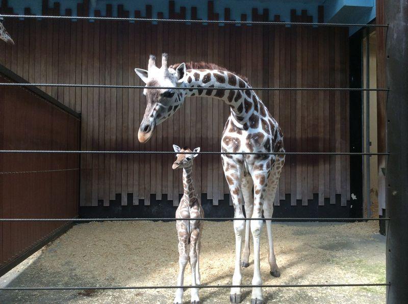 1_MilwaukeeGiraffe