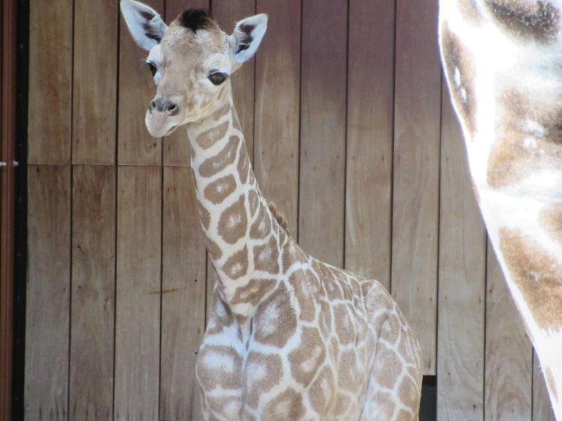 6_MilwaukeeGiraffe