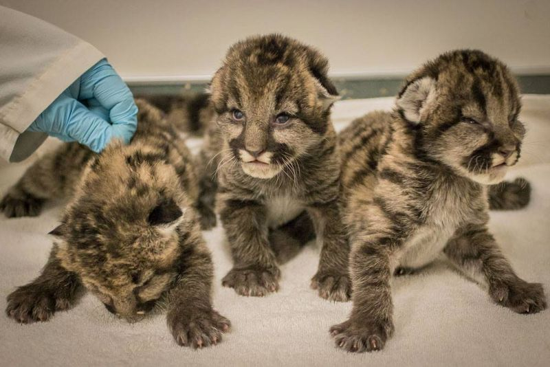 1_Oregon Cougar orphans