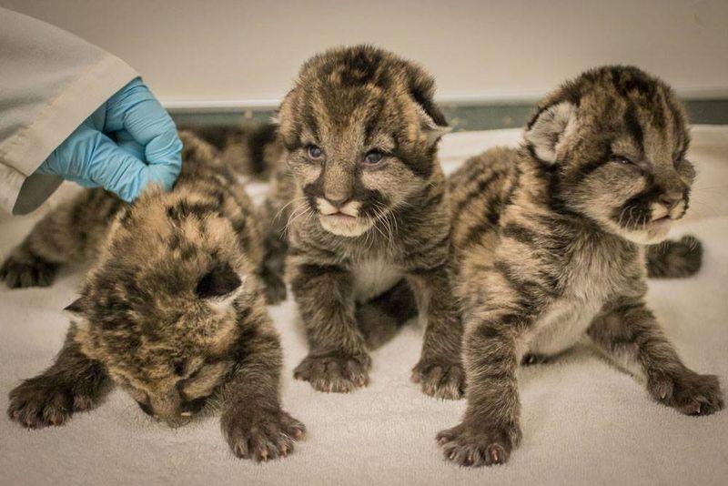 1_Oregon Cougar orphans