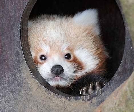 1_ZSL Whipsnade Red Pandas