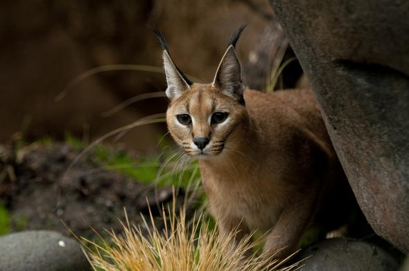 H_orig_caracal_rock_Peggy