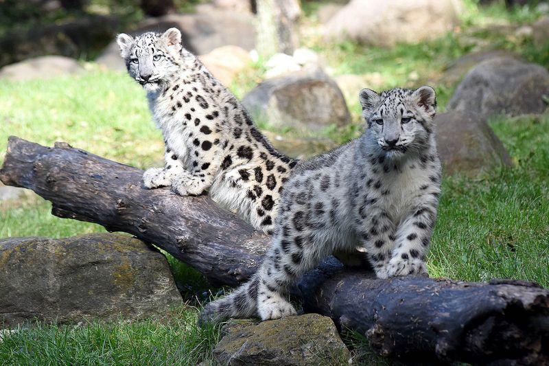 2_Brookfield Snow Leopard girls