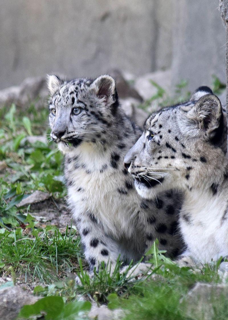 5_Brookfield Snow Leopard girls