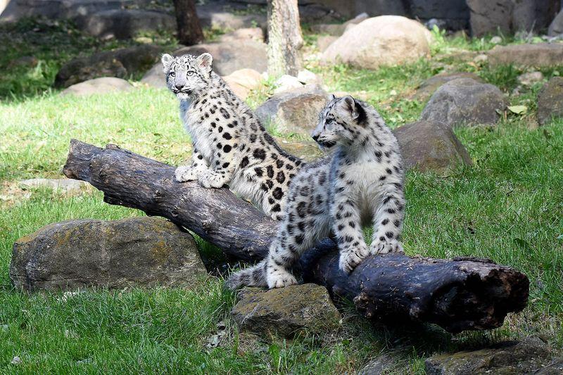 Snow Leopard Irbis Big Cat Predator Le