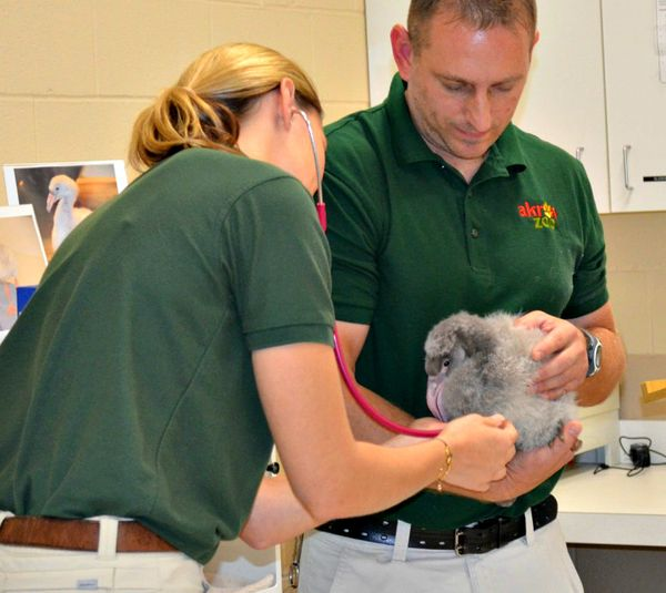 Akron Zoo's First Flamingo Chick