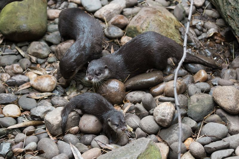 3_Julie Larsen Maher _3630_Asian Small-clawed Otters and Pup_JUN_BZ_09 04 ...