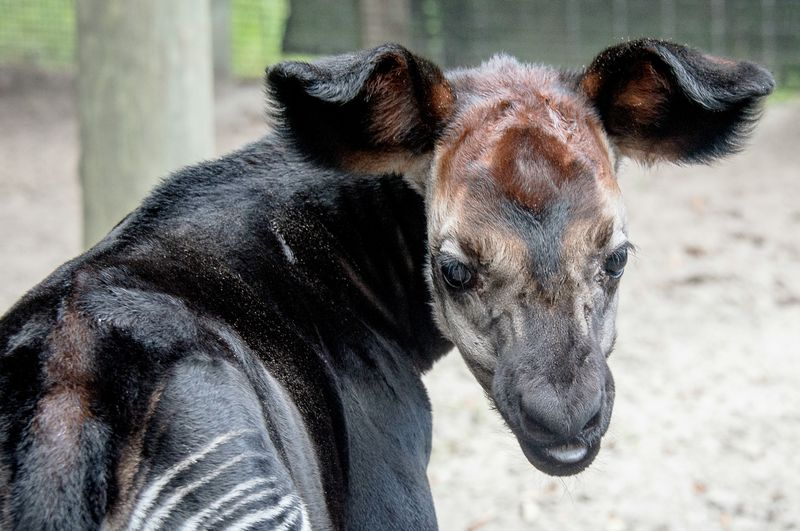 Africa okapi calf 1 oct 3 2015