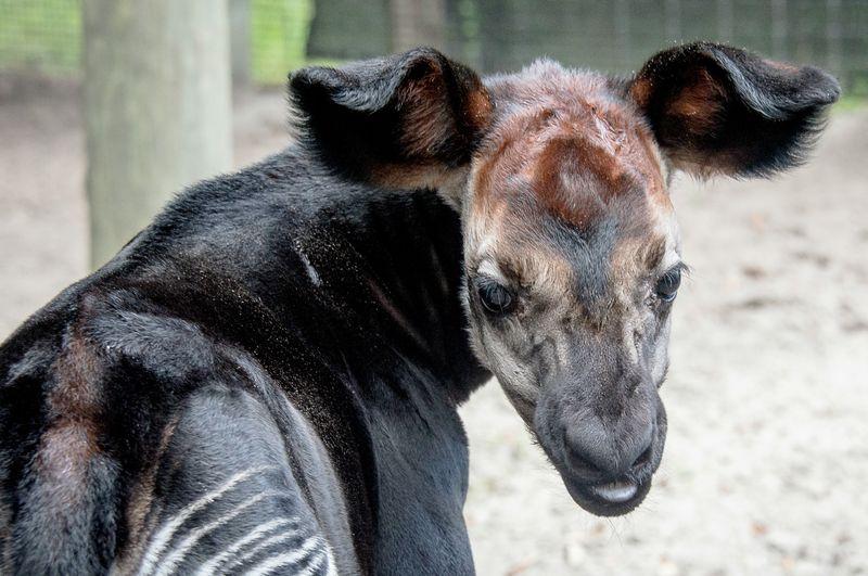 Africa okapi calf 1 oct 3 2015