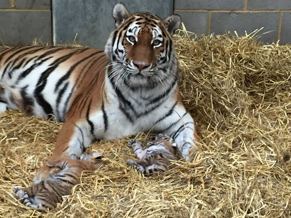 Two Tiny Tigers Welcomed at Woburn Safari Park