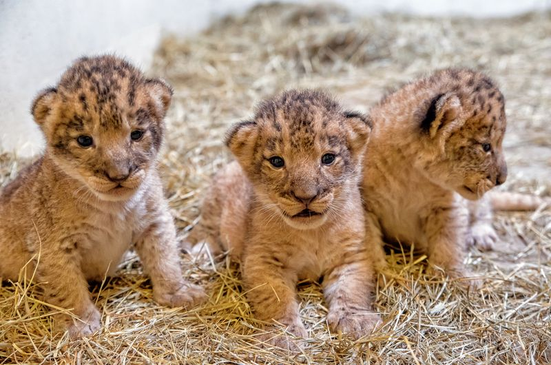 2_lion cubs4-Jackie Curts