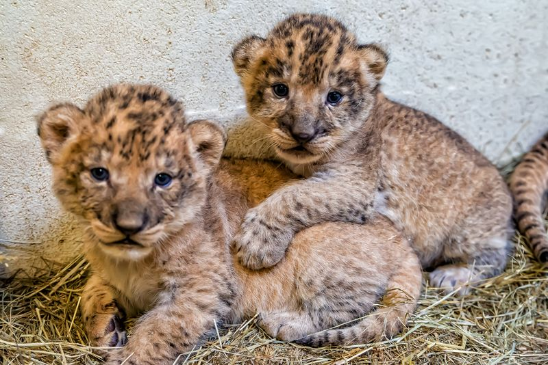 3_lion cubs5-Jackie Curts