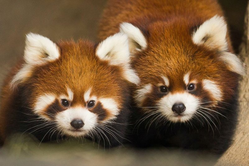 Meet the Fluffiest Cubs In Chicago