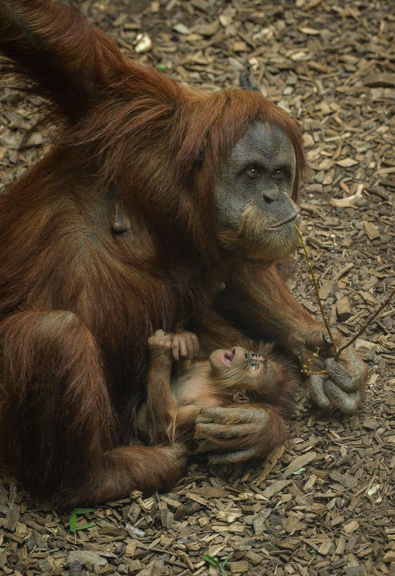 5_Baby orangutan Siska with mum Subis at Chester Zoo (3)