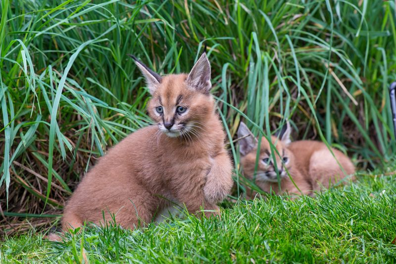 7_Oregon Caracal kittens