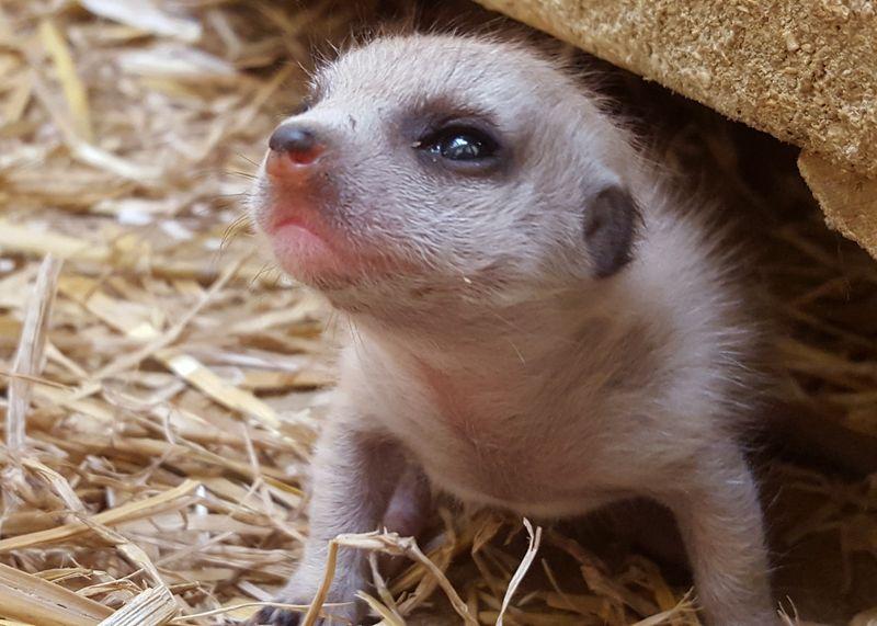 2_Meerkat pup-Alea Kuczynski