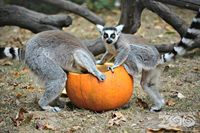 Lemurs, Tigers, and Pumpkins, Oh My!