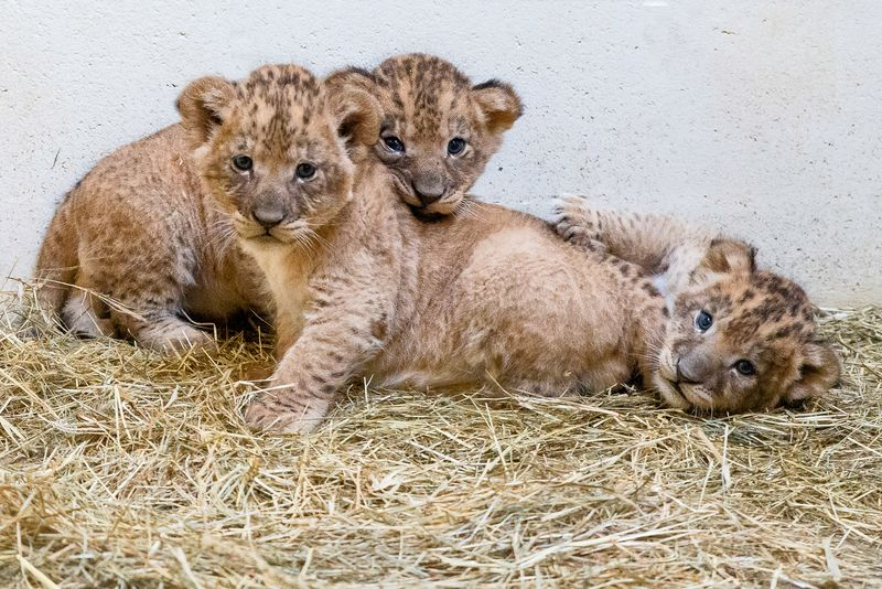 Help Name Indianapolis Zoo's Lion Cub Trio