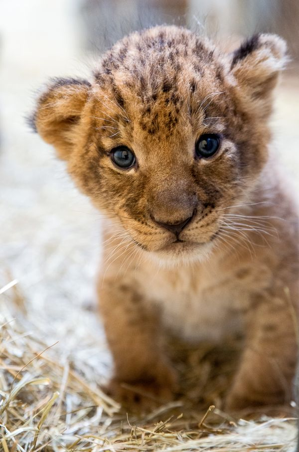 Help Name Indianapolis Zoo's Lion Cub Trio - ZooBorns