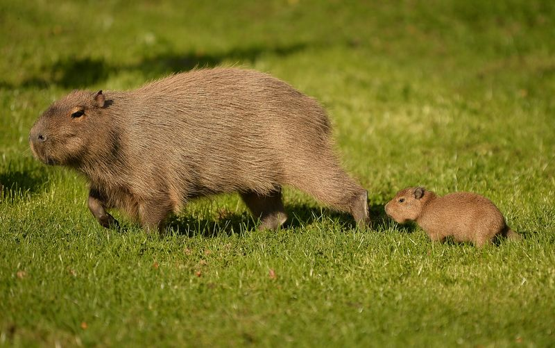 1_A baby capybara is accompanied by its mother as they explore their enclosure at Chester Zoo (3)