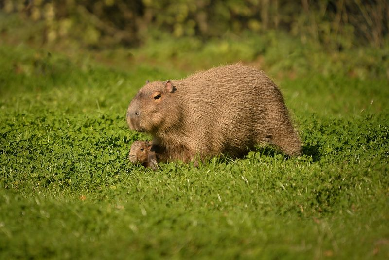 3_A baby capybara is accompanied by its mother as they explore their enclosure at Chester Zoo (2)