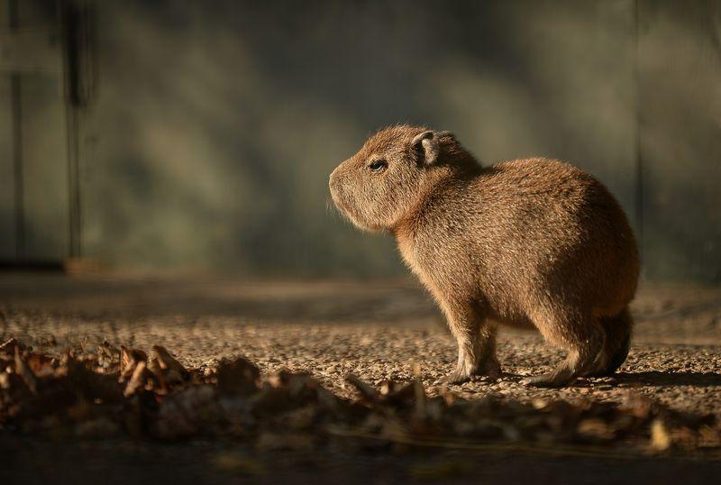 6_Capybara-4