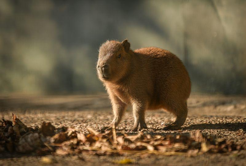 7_Capybara-8