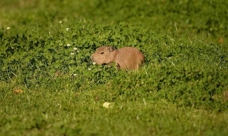 8_Capybara-13